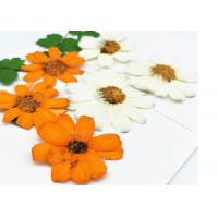 Buy cheap Zinnia Natural Dried Flowers , Dried Daisy Flowers Fit Handmade Floral Raw Material from wholesalers