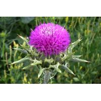 Buy cheap Medicinal Plant Milk Thistle P.E from Wholesalers