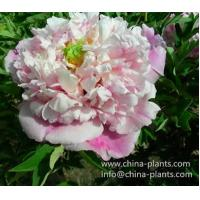 Buy cheap Wholesale rockii tree peony plants from Zhongchuan Peony Nursery from Wholesalers