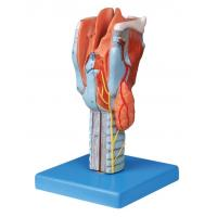 Buy cheap Life size sectioned larynx  Human anatomy Model for colleague training from Wholesalers
