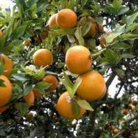 Buy cheap Citrus Aurantium Extract from Wholesalers