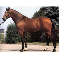 Buy cheap Warmblood horse from Wholesalers